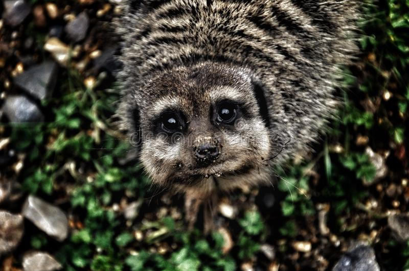 Meerkat. Sweet little animal looking directly into the camera royalty free stock image