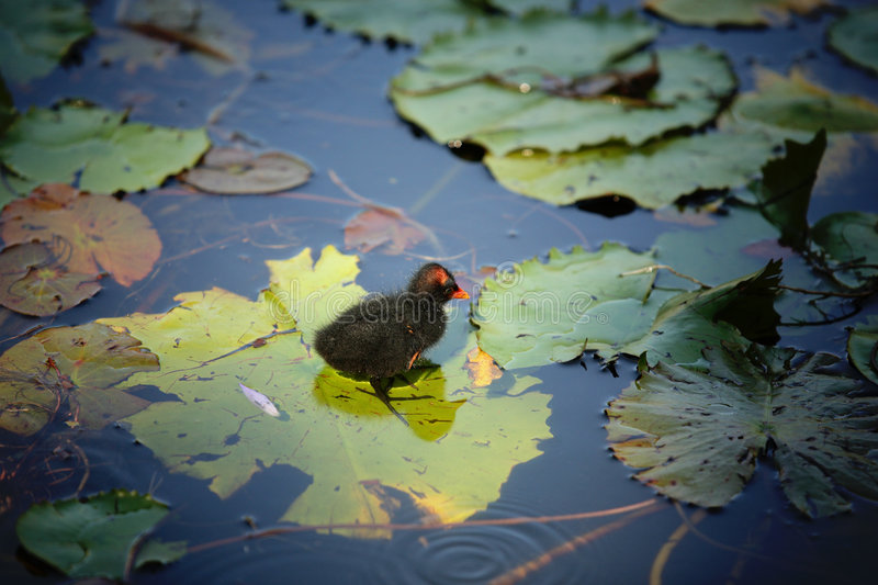 Sweet Little Bird. Little bird learning how to stand on a lotus leaf royalty free stock image