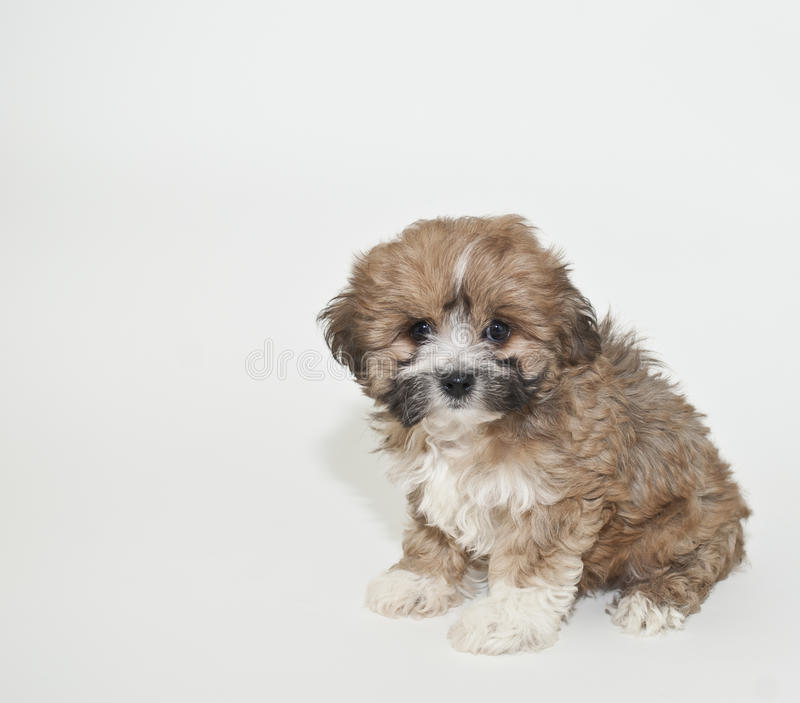 Sweet Little Brown Puppy. Brown Puppy with very sweet face, on a white background with copy space stock image