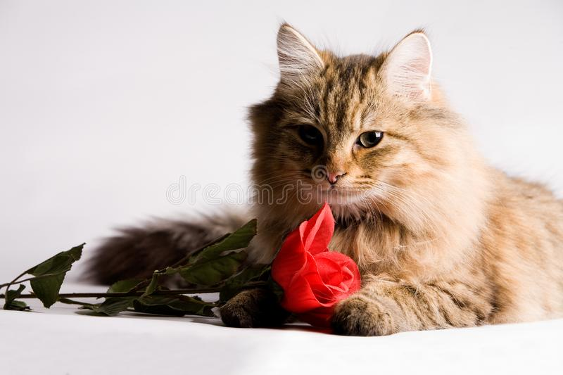 Sweet little cat with valentine rose royalty free stock photos