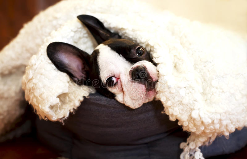 Sweet little French bulldog in bed stock photos