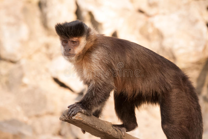 Sweet little monkey. Capuchin sweet little monkey on the branch royalty free stock image