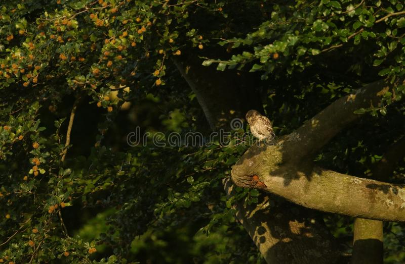 A cute Little Owl, Athene noctua, perching on a branch in a beech tree in the last of the days sunlight. royalty free stock images