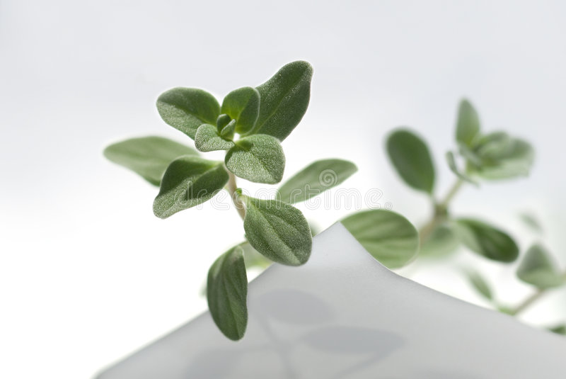 Sweet marjoram on sheet royalty free stock photography