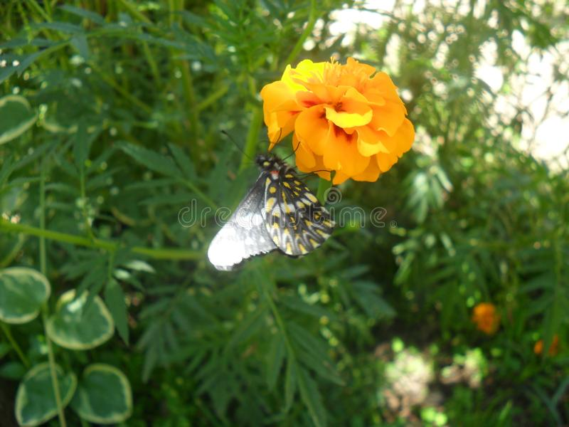 Sweet nectar butterfly royalty free stock photography