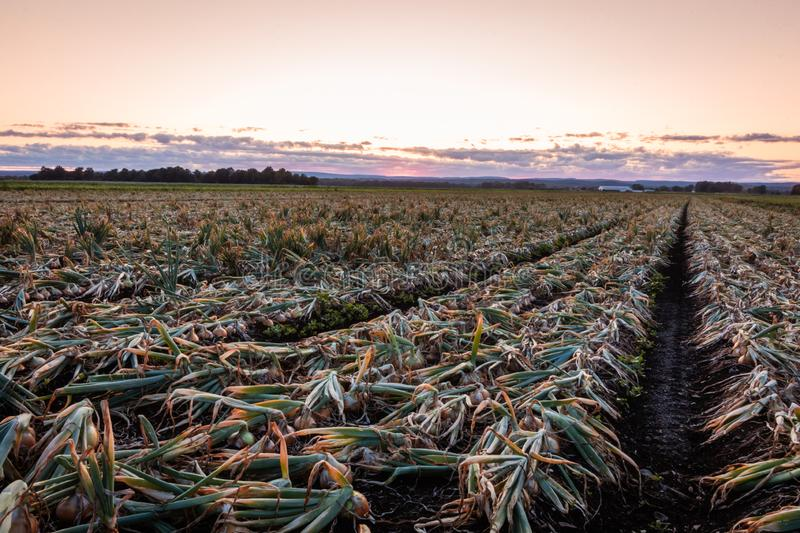 Sweet Onions ready for harvest under late summer sunset in the Black Dirt region of Pine Island, New York royalty free stock images