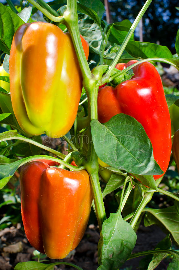 Sweet orange bell peppers royalty free stock photos