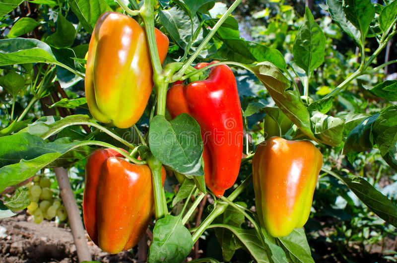 Sweet orange bell peppers stock photos
