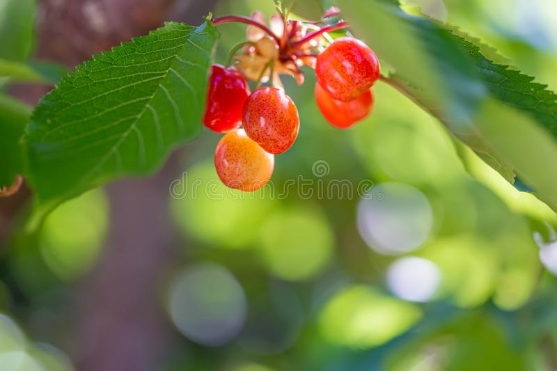 Sweet  orange cherry ripens on a green tree in a summer. Fruits on a branch of sweet cherry in a garden. Shallow depth of field. royalty free stock images