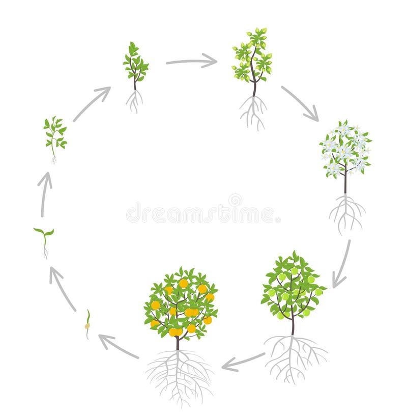 Sweet oranges tree growth stages. Vector illustration. Ripening period progression. Orange fruit tree life cycle animation plant. Lemon tree growth stages vector illustration