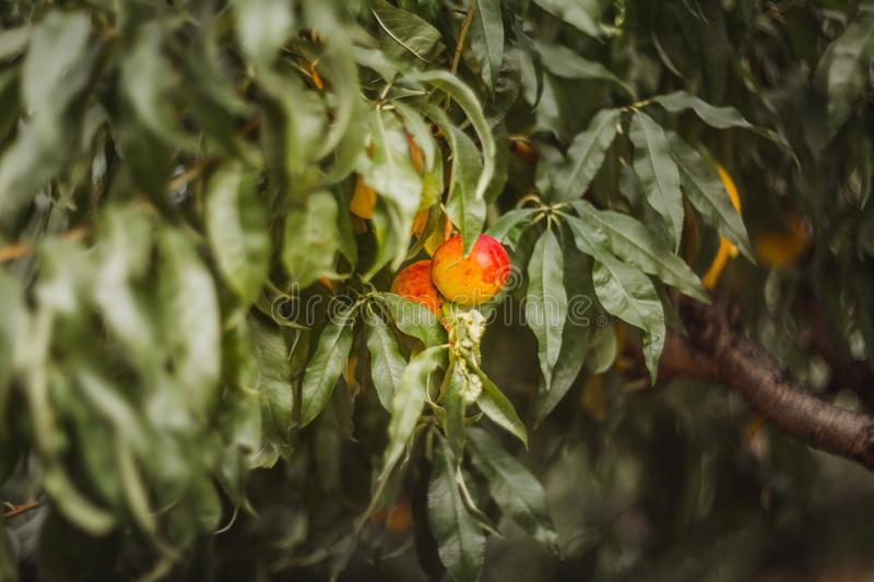 Sweet organic nectarines on tree in big garden with bokeh stock images