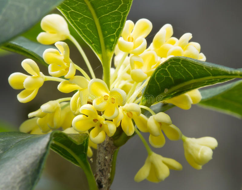 Sweet Osmanthus flower royalty free stock photo