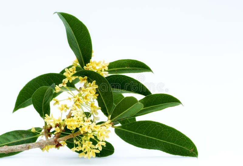 Sweet osmanthus flowers stock images