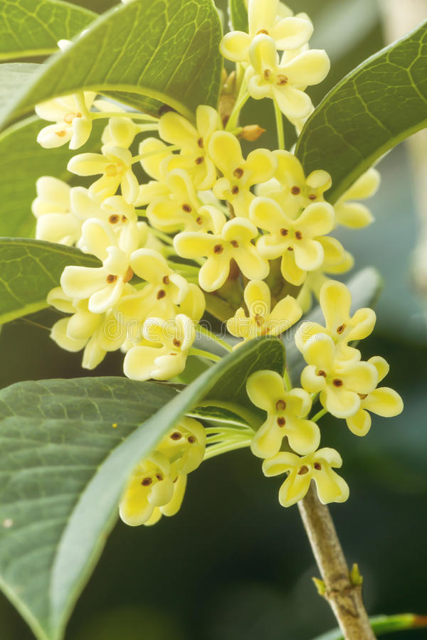 Sweet osmanthus flowers royalty free stock image