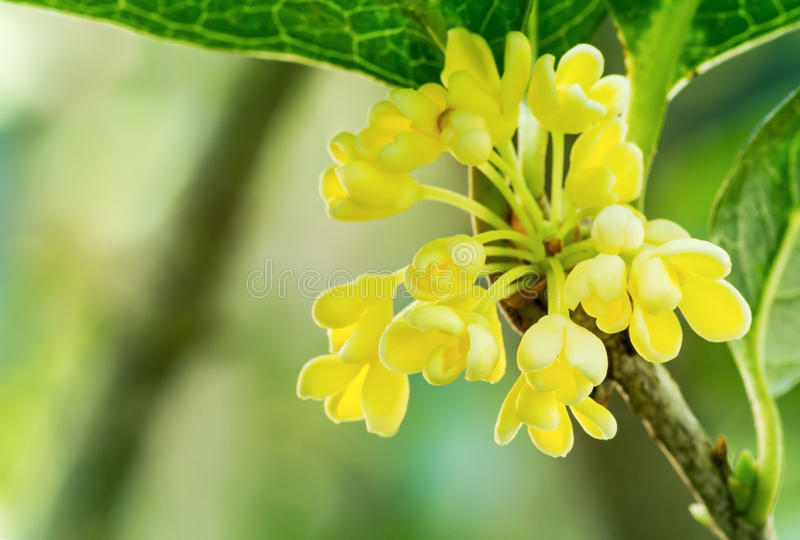 Sweet Osmanthus royalty free stock photography
