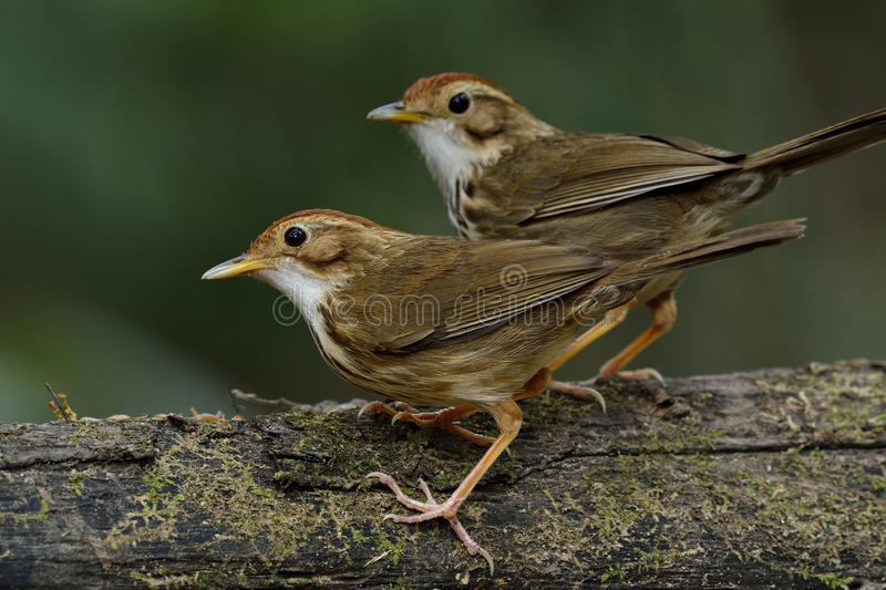 Sweet pair of Puff-throated Babbler (Pellorneum ruficeps) the lo stock photography