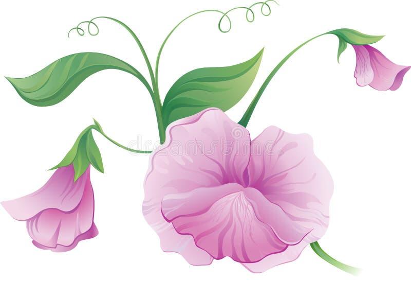 Sweet pea vector illustration