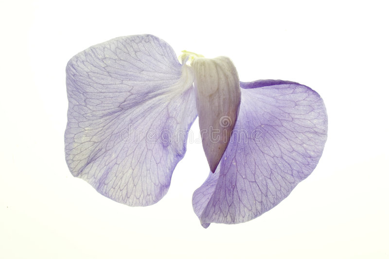 Download Sweet Pea Blossom On White Stock Photo - Image: 261060