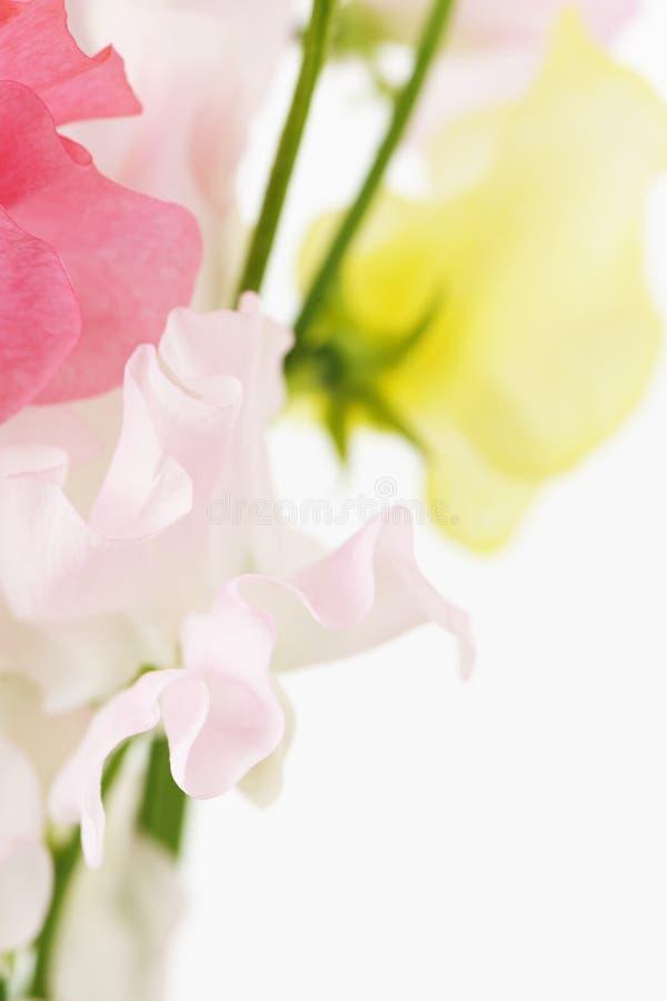 Sweet pea flower stock photos