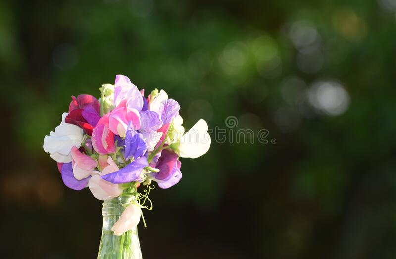 A bouquet of Sweet Pea Flowers in a glass bottle stock images