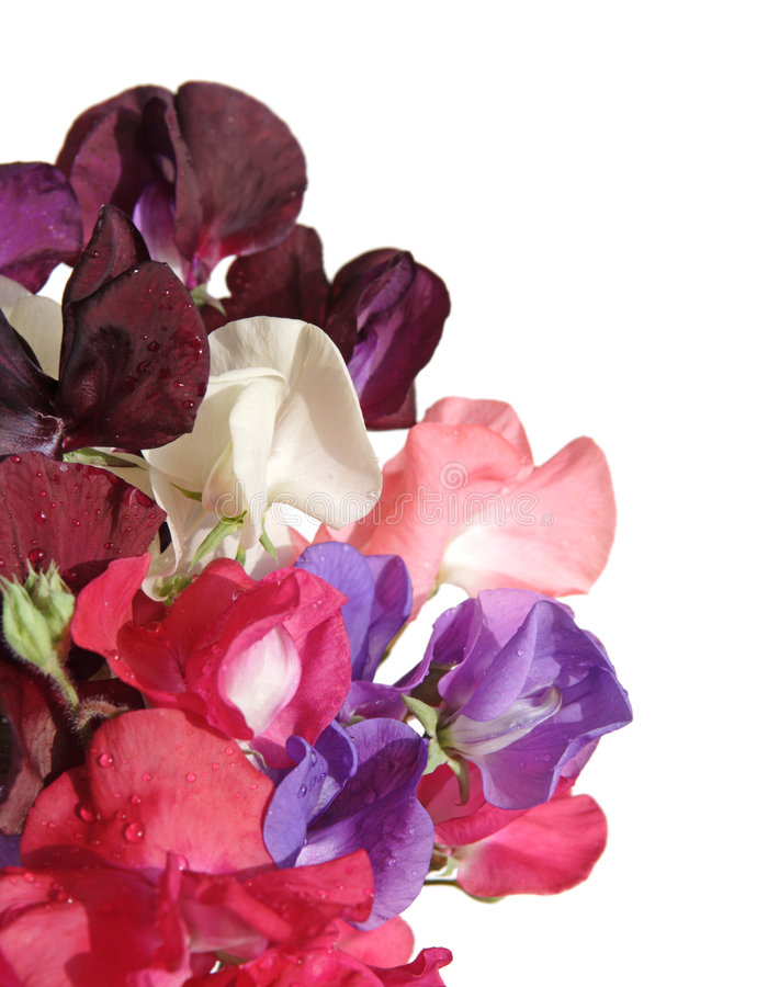 Download Sweet pea flowers stock image. Image of bouquet, pink - 4425517