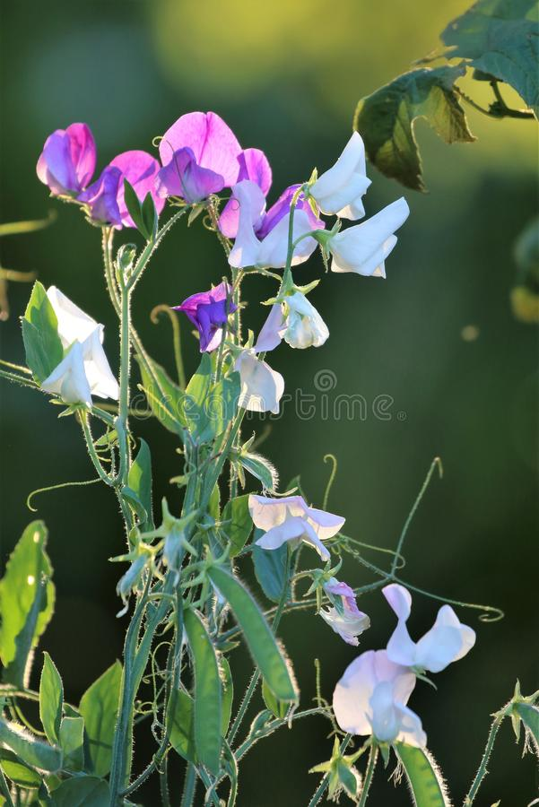 Sweet pea flowers in the garden royalty free stock images