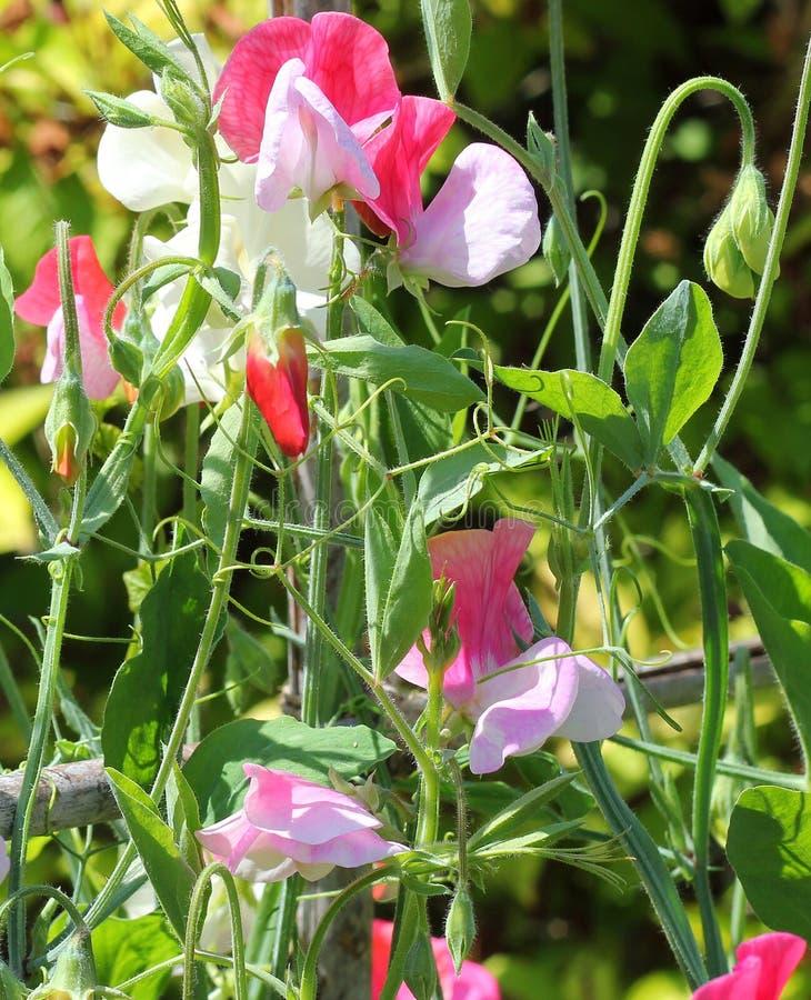 Sweet pea (Lathyrus odoratus) royalty free stock photography