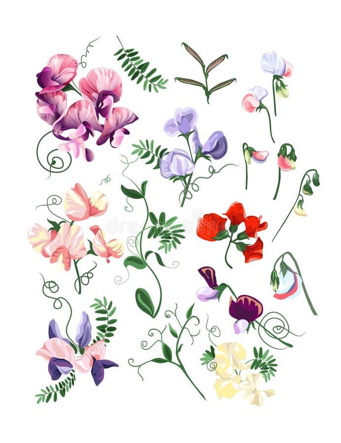 Sweet pea set vector illustration