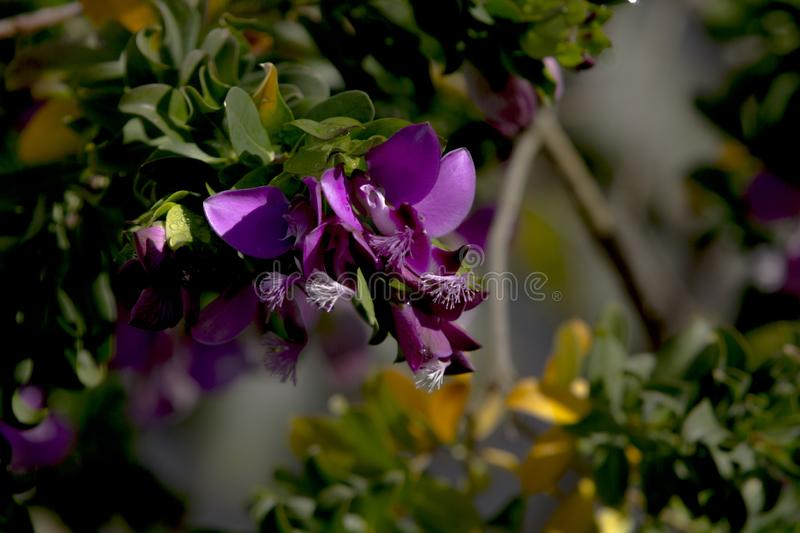 Sweet Pea Shrub flowers on a branch under winter light. Sweet Pea Shrub Petite Butterfly, Polygala fruticosa. These are living in Bodrum, Turkey. Flowers with stock photos
