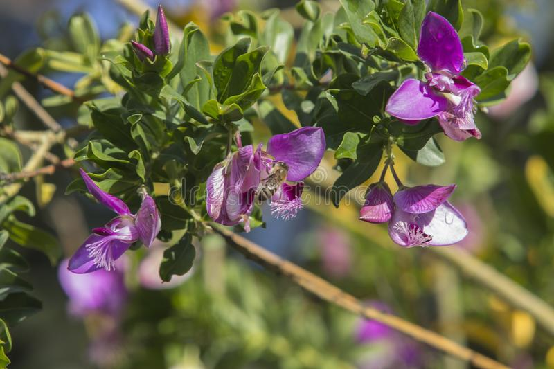 Close up of four Sweet Pea Shrub Petite Butterfly flowers stock photo