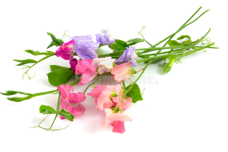 Sweet peas stock images