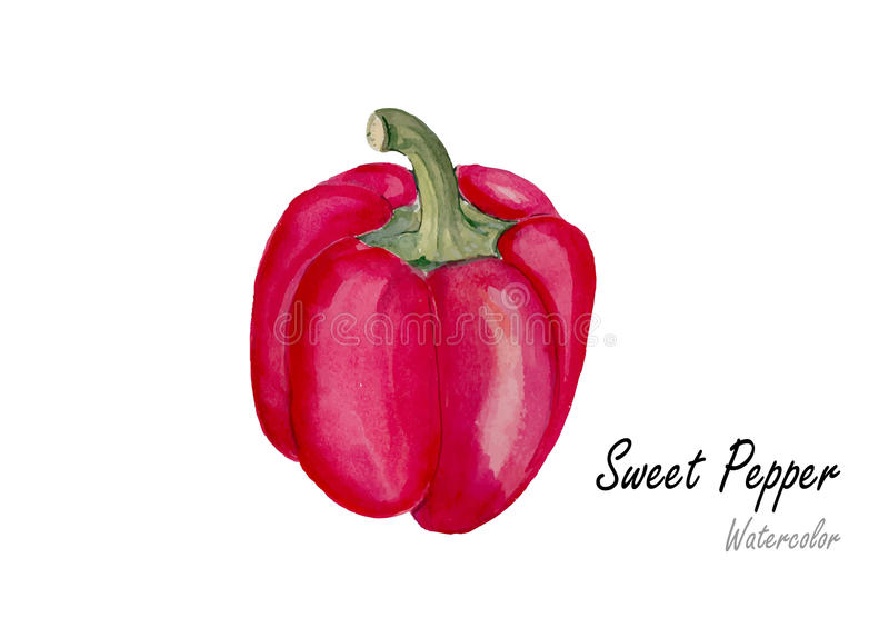 Sweet pepper .Hand drawn watercolor painting on white background.Vector illustration royalty free illustration