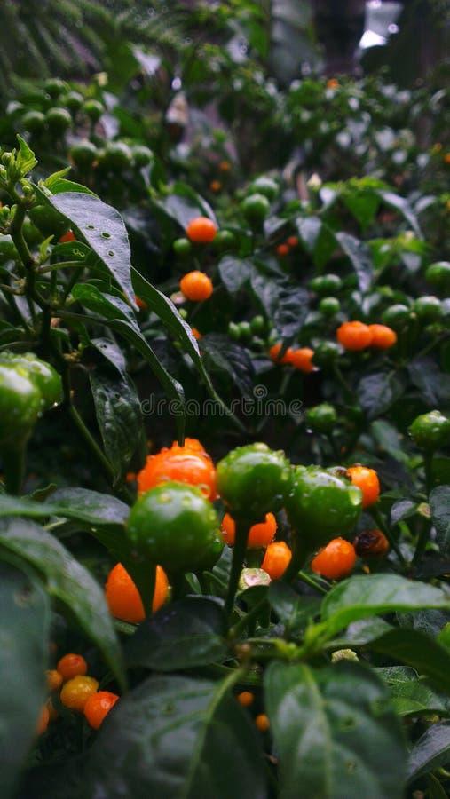 Sweet pepper stock photos