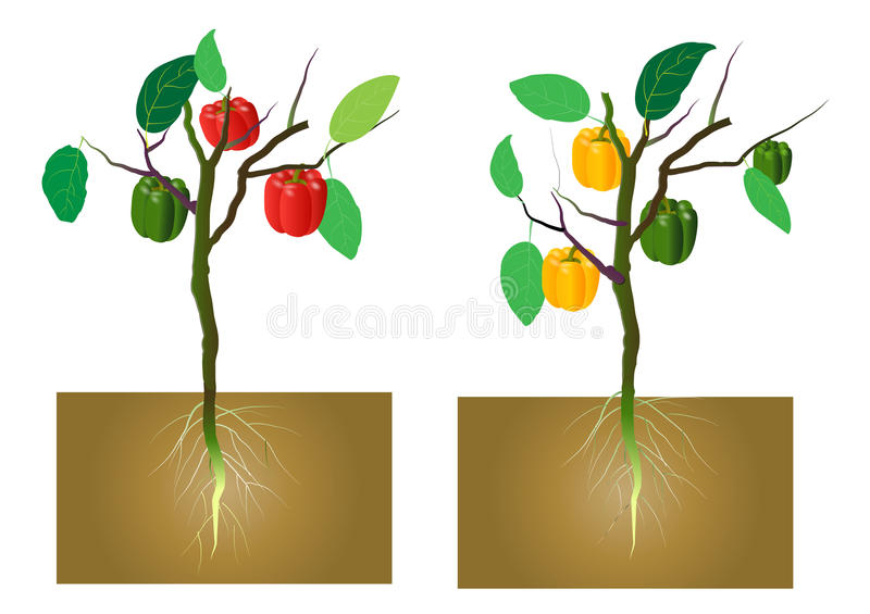 Sweet pepper with roots underground,vector illustration royalty free illustration