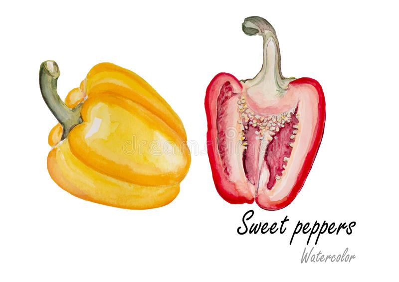 Sweet peppers .Hand drawn watercolor painting on white background.Vector illustration stock illustration