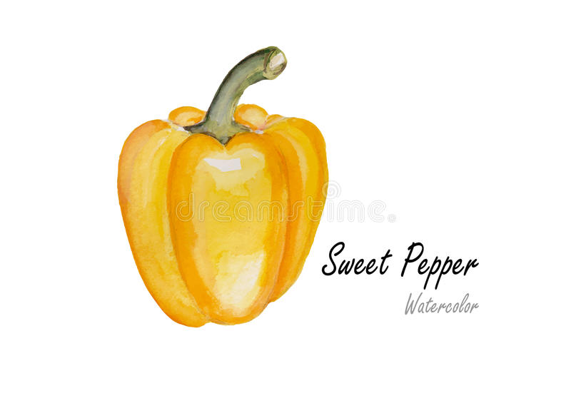 Sweet peppers yellow .Hand drawn watercolor painting on white background.Vector illustration stock illustration