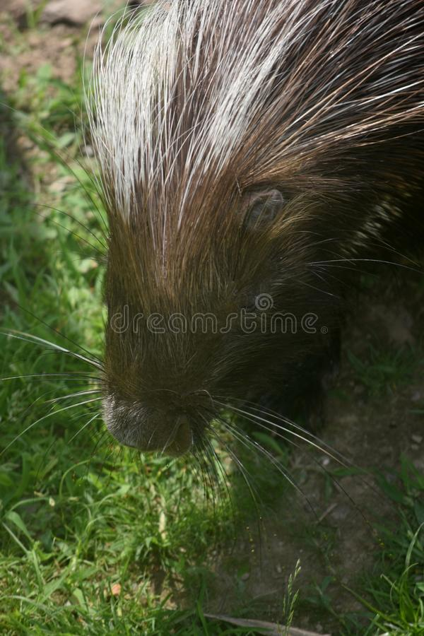 Close up photo of a cute porcupine face. Sweet photo of a cute porcupine's face stock images