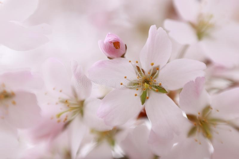 Sweet pink apple blossom. Sweet gentle pink apple blossom in spring stock photography