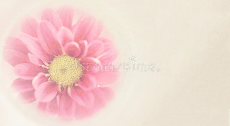 Sweet pink chrysanthemums flowers in soft and blurred style. With mulberry paper texture and space for text on right for background royalty free stock photos