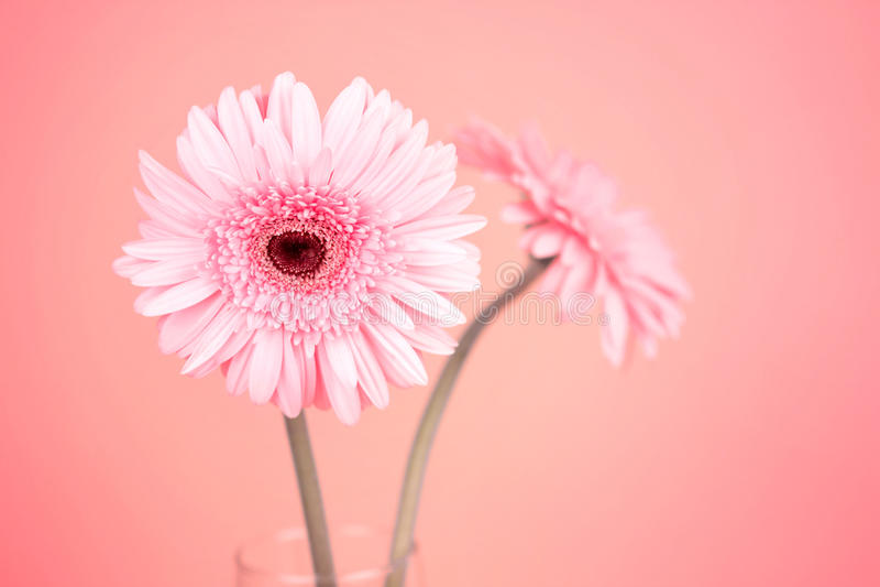 Sweet pink Gerbera flower, romantic moment royalty free stock photo