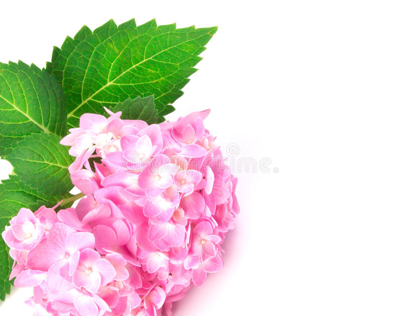 Sweet pink hydrangea flowers as frame border on a white backgro stock images