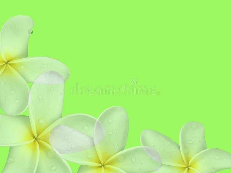 Sweet Plumeria (frangipani) flowers with green background stock image