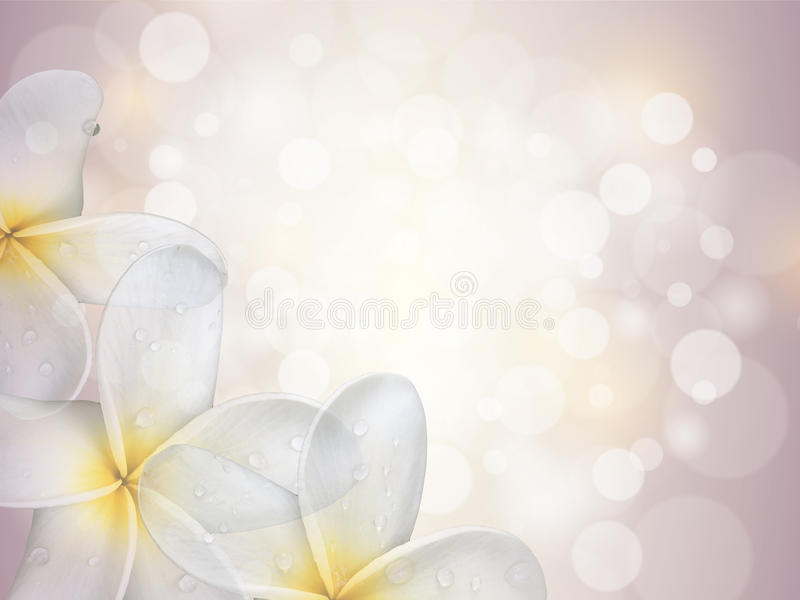 Sweet Plumeria (frangipani) flowers with purple bokhe royalty free stock image