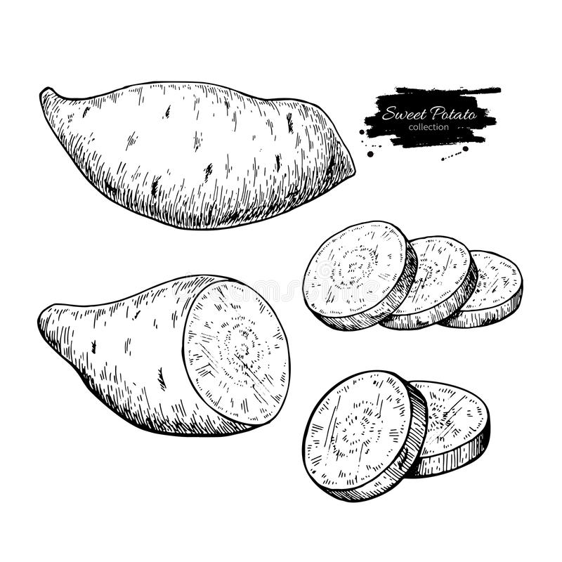 Sweet potato hand drawn vector illustration. Isolated Vegetable engraved style object. stock illustration