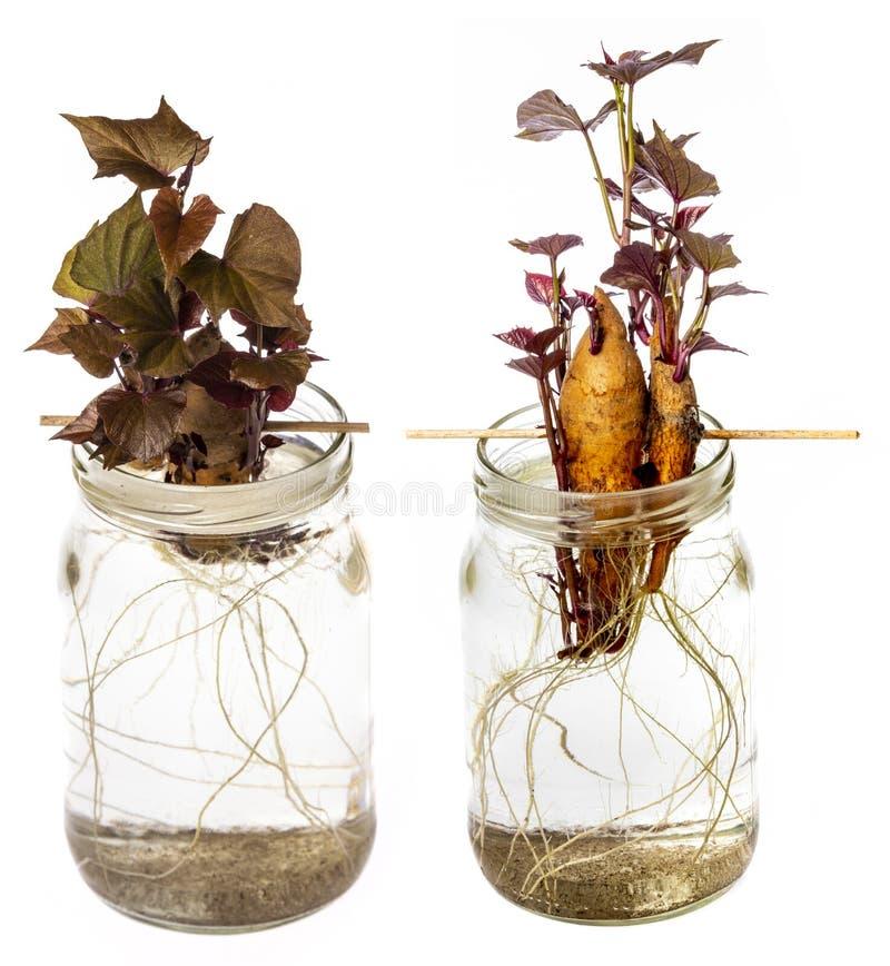 Free Sweet Potato - Ipomoea Batatas Stock Photo - 131136500