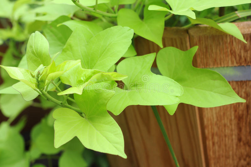 Download Sweet Potato Leaf Stock Photography - Image: 33855052