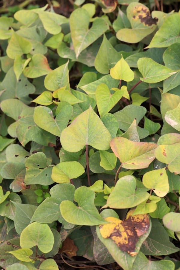 Sweet potato plants royalty free stock images