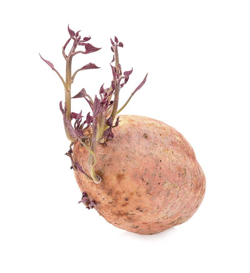 Sweet potato shoots on a white background stock image