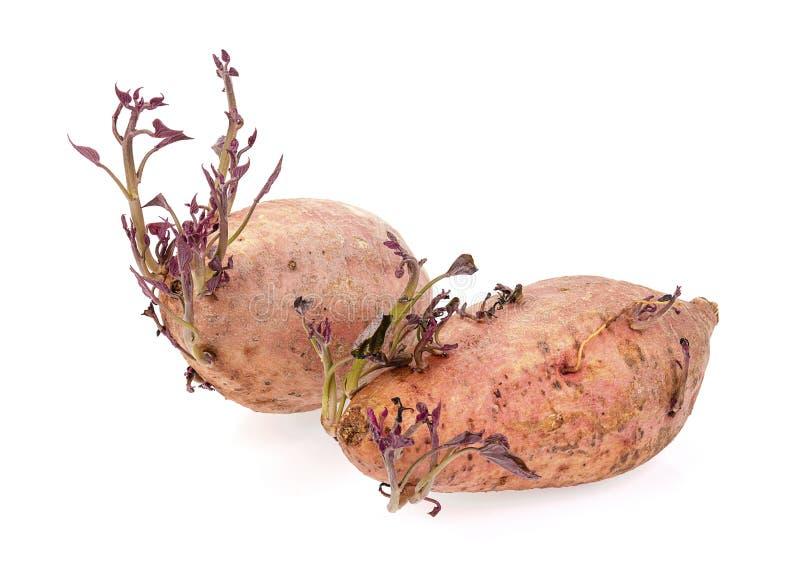 Sweet potato shoots on white background stock photos