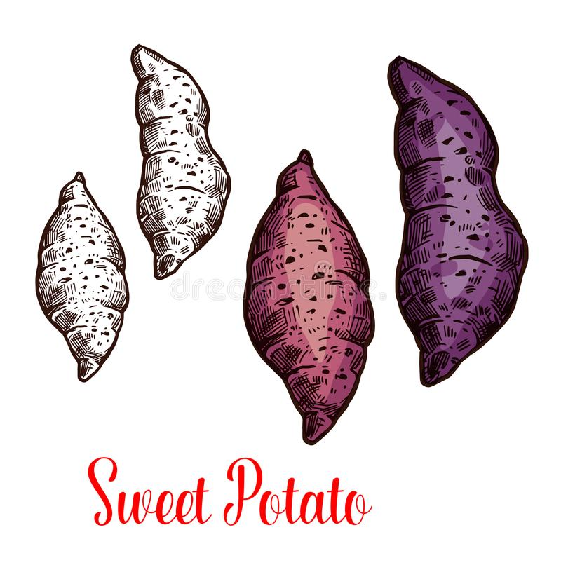 Sweet potato, yam, batata sketch of root vegetable. Sweet potato isolated sketch of fresh root vegetable. Raw yam and batata icon of edible plant for agriculture royalty free illustration